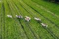 Aerial view of Reindeers in green field in summer season in Finland Lapland. - PhotoDune Item for Sale