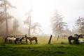 horses on leash on foggy - PhotoDune Item for Sale