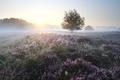 beautiful blooming heather at misty sunrise - PhotoDune Item for Sale