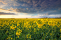 rapeseed field and blue sky - PhotoDune Item for Sale