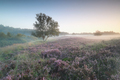 flowering heather on misty hills at dawn - PhotoDune Item for Sale