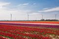 colorful tulip field and turbines - PhotoDune Item for Sale
