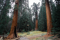 Top crowns of giant Sequoia trees taken from below in Sequoia National Park, California - PhotoDune Item for Sale