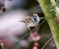 Eurasian tree sparrow collecting material for its nest - PhotoDune Item for Sale