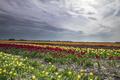 colorful tulip rows on Dutch farmland - PhotoDune Item for Sale