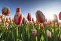 sunshine through tulips over blue sky - PhotoDune Item for Sale