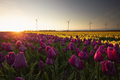 sunset over purple and yellow tulips - PhotoDune Item for Sale