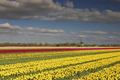 red and yellow tulips and Dutch windmill in sunshine - PhotoDune Item for Sale