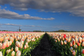 beautiful tulips and Dutch windmill ober blue sky - PhotoDune Item for Sale