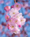 Pink cherry blossoms - PhotoDune Item for Sale