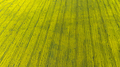 Rapeseed or Canola Plantation. Bio Fuel or Bio Oil Production. Aerial Drone View - PhotoDune Item for Sale