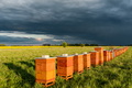 Row of Beehives Outdoor near Rapeseed or Canola Plantation. Beekeeping and Honey Productiom - PhotoDune Item for Sale