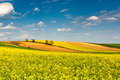 Rape Fields in Full Bloom. Rapesseed or Canola Plantation and Blue Sky with Clouds on Horizon - PhotoDune Item for Sale