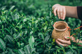 Selective focus shot of a female collecting tea leaves - PhotoDune Item for Sale