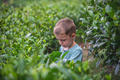 Beautiful closeup of a boy collecting tea leaves - PhotoDune Item for Sale