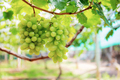White grapes growing in vineyard - PhotoDune Item for Sale
