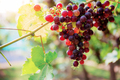 Red grapes of ripe at sunlight - PhotoDune Item for Sale
