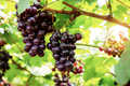 Red grapes on tree in farm - PhotoDune Item for Sale
