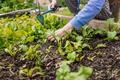Gardening in raised bed - PhotoDune Item for Sale