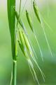 wild oat closeup - PhotoDune Item for Sale