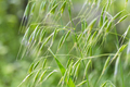 wild oat grass - PhotoDune Item for Sale