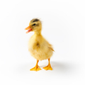 yellow little duck isolated - PhotoDune Item for Sale