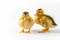 two ducklings closeup isolated - PhotoDune Item for Sale
