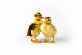 two little ducks closeup isolated - PhotoDune Item for Sale