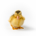 pretty baby duck isolated - PhotoDune Item for Sale
