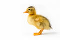 duckling isolated on white - PhotoDune Item for Sale
