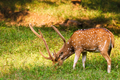 Beautiful male chital or spotted deer in Ranthambore National Park, Rajasthan, India - PhotoDune Item for Sale