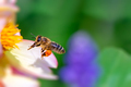 Bee flying to a pink flower blossom - PhotoDune Item for Sale