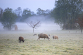 sheep graze on misty pasture - PhotoDune Item for Sale