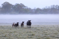 sheep family on foggy pasture in morning - PhotoDune Item for Sale