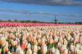 beautiful tulip field and Dutch windmill - PhotoDune Item for Sale