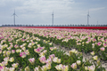 pink and red tulip field on sunny spring day - PhotoDune Item for Sale
