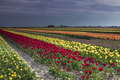 colorful tulip field in spring Dutch farmland - PhotoDune Item for Sale