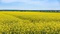 Field of blooming rapeseed - PhotoDune Item for Sale