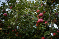Red apples are in full bloom during the harvest season - PhotoDune Item for Sale