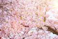 Blooming sakura cherry blossom - PhotoDune Item for Sale