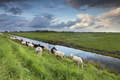 sheep herd on pasture by river - PhotoDune Item for Sale