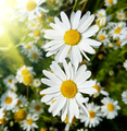 Close up of beautiful daisies lit by sunlight - PhotoDune Item for Sale
