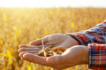 Harvest ready soy pods in farmer hands on field background evening sunset time - PhotoDune Item for Sale