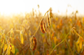 Soy pods at field sunset time backlit by sun closeup photo - PhotoDune Item for Sale