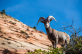 Beautiful Bighorn Sheep standing cliffside along the Superstition Mountains at Zion National Park - PhotoDune Item for Sale