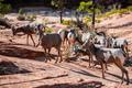 Herd of desert bighorn sheep, ovis canadensis nelsoni, walks through Zion National Park - PhotoDune Item for Sale