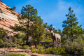 Big horned sheep in the Zion National Park forest and mountains landscape - PhotoDune Item for Sale