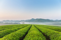 beautiful tea plantation in early morning - PhotoDune Item for Sale