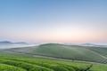 tea plantation landscape in dawn - PhotoDune Item for Sale