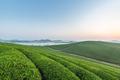 tea plantation with mist in sunrise - PhotoDune Item for Sale
